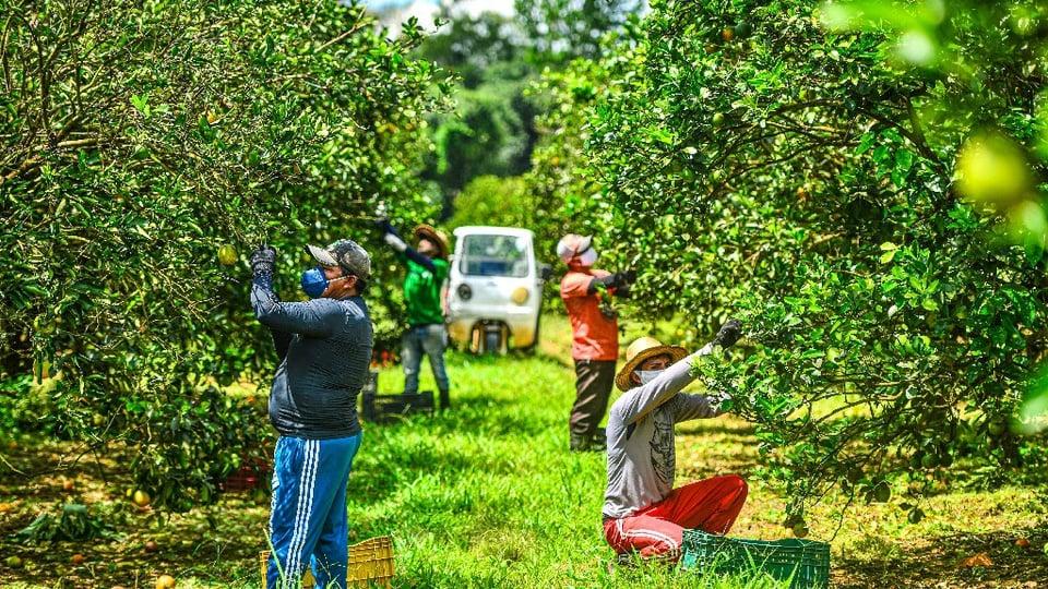 Concurso IDAM, pessoas colhendo frutas