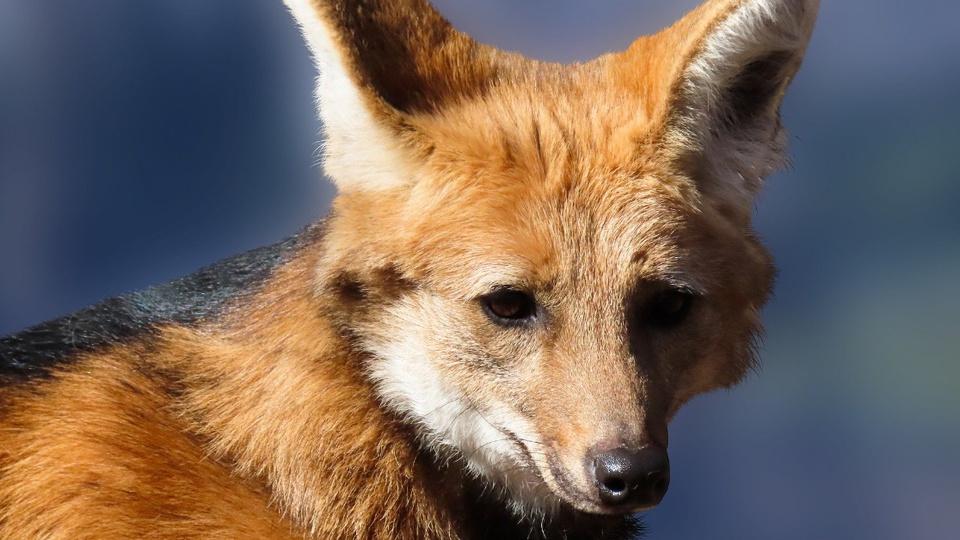 Nota de R$ 200: enquadramento fechado em rosto do lobo-guará